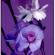 violet-spring-1