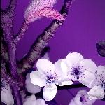 violet-spring-2